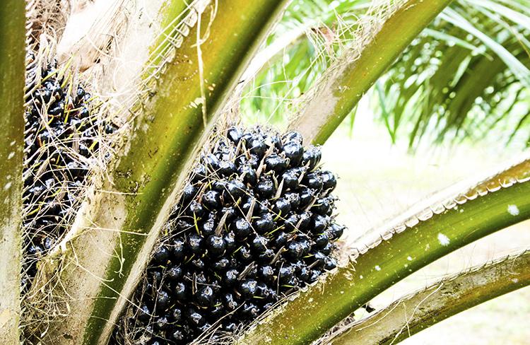 Une huile de palme certifiée, garantie de durabilité